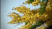 Spring Video Hd - Acacia dealbata (mimosa)