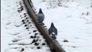 Гълъби вървят по релса