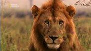 National Geographic - Чудесата на животните - оцеляване в саваната Bg Audio