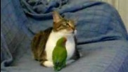 Paciencia gatuna 2.0 amistad entre gato y pajaro - Cat and parrot are friends amazing!! cat and bird