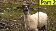 Направо да паднеш - луди овце 100% смях !!!