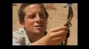 Bear Grylls eating raw vipersnake in Africa!