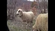Овчици си похапват тревичка