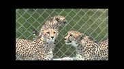 сладки мяукащи гепарди