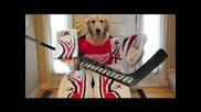 Golden Retriever - кучето хокеист Смях