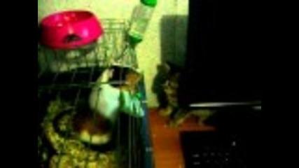 котка и морско свинче си играят
