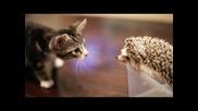 Коте Отваря на таралеж