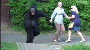 Gorilla in Zoo (sa Wardega)