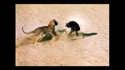 Леопард сражается с обезьяной