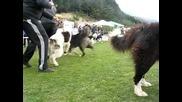Изложба на каракачанско куче с.железница 2011