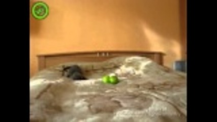 Коте си играе с 2 ябълки