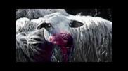 Ahat - The Black sheep