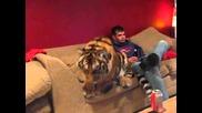 Тигър за домашен любимец