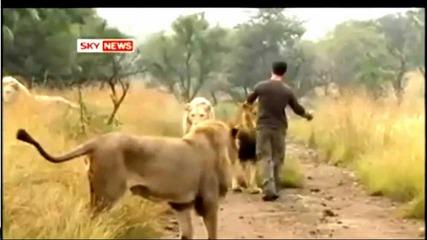 човек си играе с лъвове