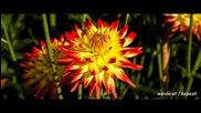 Dahlias fire in the Britz Garden 2013 -dahlienfeuer im Britzer Garte