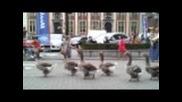 Фанфари гъски (гъска), добре подредени