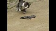 Смела котка се Бие със змия