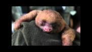 Очарователно бебе Ленивец се прозява