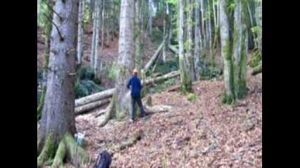 Abattage gros bois