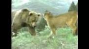 ето на какво е готова всяка майка за детето си мечка гризли срещу пума