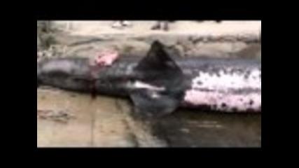 Хърватски рибари уловиха огромна акула