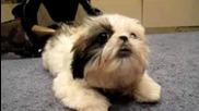 Jax The Sassy Shih Tzu Puppy