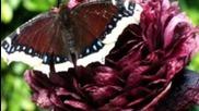 The most beautiful butterfly! пеперуди 2