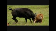 Buffalo flips, gores, and destroys Male lion.