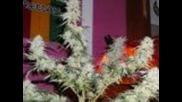 Shiva's Skunk Ernte