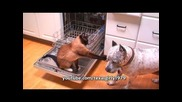 Who will do the Dishes?? Pit Bull Sharky or Roomba cat Max-arthur...