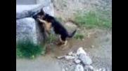 Немска овчарка си играе