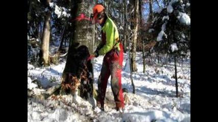 Abattage d'un fayard dans la neige.