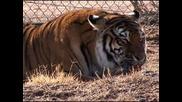 тигър и лъв