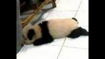 Куче-панда [ Нова порода ]