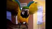 Talking macaw