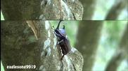 Rhinoceros Beetle pisses like a dog
