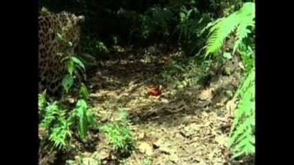 Nature - Jaguar Year of the Cat