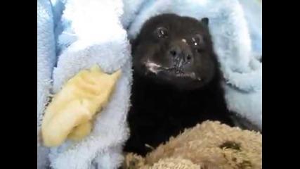 Прилепче си похапва банан