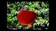 Диана Експрес Наследство (две праскови и две череши) 1985