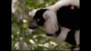 Звездите в света на животните - Джон Клийз и Лемурите