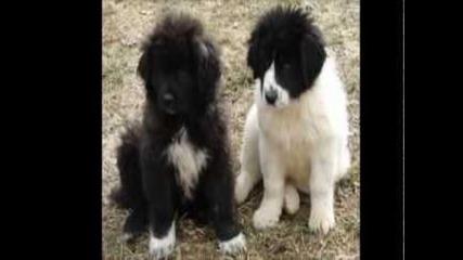 Българско овчарско куче [бок]