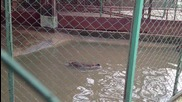 Бобри си играят във водата