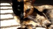 Удивителна котка с две лица