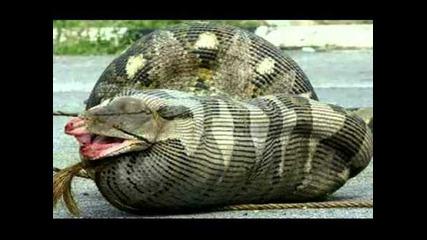 Огромни змии
