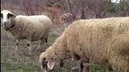 Овце сладко си похапват тревица пазени от мини кученце :d