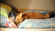 Домашна забавна лисичка