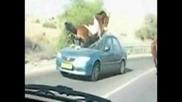 Кон се забива в предното стъкло на кола!!