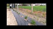 Отгеждане на малини върху мулч Agritela Nera