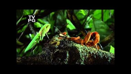 Гигантската горска богомолка с/у Бодливoто листовo насекомо