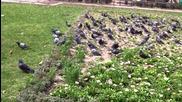 30 гълъба не могат да излетят заради силния вятър - Хасково 15.03.2013